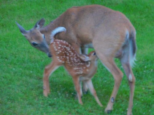 """Rites of Spring"" - Marge Ahlin, MBCC Trustee and her husband, snapped these Downeast residents and their progeny (doe and nursing fawn) on their lawn in Machias."